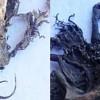 チリの小さな町でチュパカブラの死骸が発見される!!