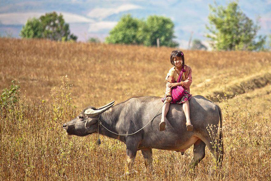 牛に乗って登校する少女。ミャンマー