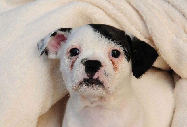 ヒトラーが生まれ変わった!?ヒトラーそっくりな子犬のチワワが現れる