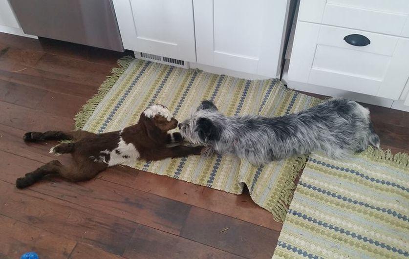 凍死寸前の赤ちゃんヤギをオーブンで温めたら息を吹き返す!