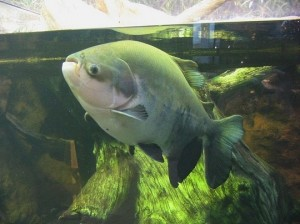 pacu_fish2