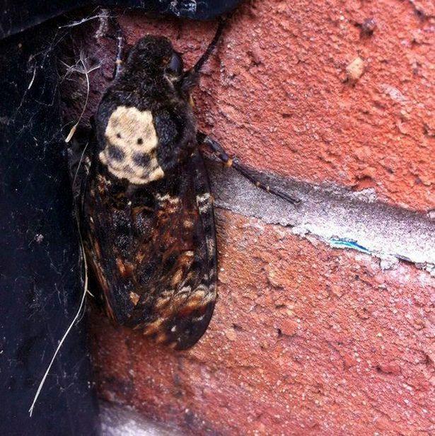 Bat-Moth