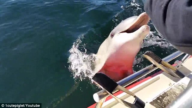 2ADE415900000578-3175606-A_cheeky_dolphin_jumped_up_to_try_and_eat_a_fisherman_s_phone_in-a-3_1437967482491