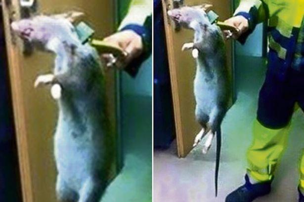 Huge-rat-found-in-Grimsby-Docks