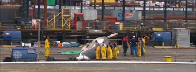 whale-stranding-alaska-2015-1